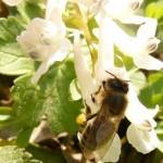 Какво събират пчелите от растенията