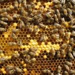 Продавам пчелен мед 75 тенекии