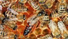 продавам пчелни майки