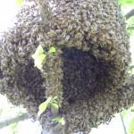 Приемам заявки за пчелни отводки за 2017г. На 4 рамки Дадан-Блат с млади майки,
