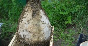 Календар на пчеларя месец ЮНИ