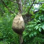 пчелни отводки Дадан-Блат