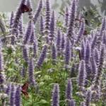 Лофантът пък е по-полезен и от женшена. Благодарение на него пчеларите вадят годишно още една реколта мед, ако са си го засадили, разбира се.