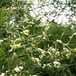 Залесявайте японска акация – изключително медоносен вид!