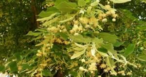 Липа Сем. Tiliaceae (Липови)
