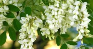 Бяла акация, Бял салкъм Сем. Fabaceae (Leguminosae, Бобови)