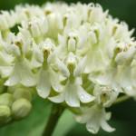 Асклепиас (Аsclepias syriaca L.) –От 1дка се получава от 46 до 71 кг мед.